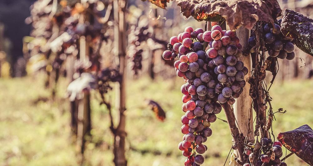 500 grape varieties in Georgia